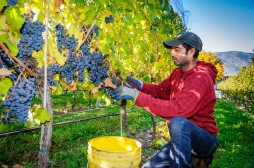 Kuldeep Dhaliwal harvests grapes at GK Farm on the East Bench of Osoyoos. The farm supplies grapes to Moon Curser Vineyards.